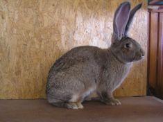 Belgocký obor- králik vážiaci takmer 9kg, chovateľ Mikuláš Buček zDargova - čestná cena
